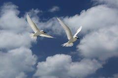 Oiseaux féeriques de sterne de vol Photos libres de droits
