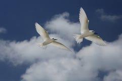 Oiseaux féeriques de sterne de vol Photographie stock