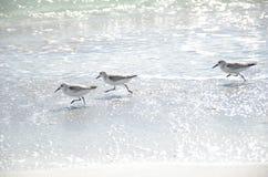 Oiseaux fonctionnant sur la plage Photographie stock