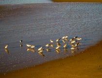 Oiseaux forageant à la lumière du soleil de matin, RJ Brésil photos stock
