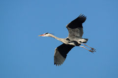 OISEAUX - Grey Heron Photographie stock