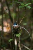 Oiseaux incubant des oeufs Images stock