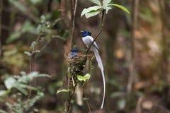 Oiseaux incubant des oeufs alternativement Photo stock