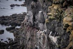 Oiseaux islandais image libre de droits