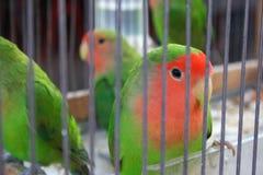 Oiseaux jaunes canari dans la cage Image stock