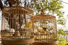Oiseaux jaunes dans les cages Photographie stock libre de droits