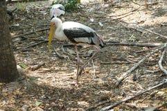 Oiseaux laiteux de cigogne Photos libres de droits