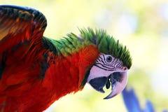 Oiseaux, le chloroptere d'Aras Photographie stock