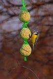 Oiseaux - mésange bleue Images libres de droits