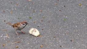 Oiseaux mangeant des miettes de pain banque de vidéos