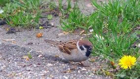 Oiseaux mangeant des miettes de pain clips vidéos