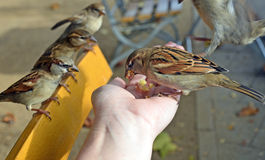 Oiseaux mangeant hors de votre main Photographie stock