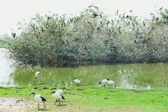 Oiseaux mangeant l'herbe sur le champ Photo stock