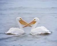 Oiseaux masculins et femelles d'amour de pélican Images stock