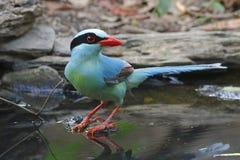 Oiseaux mignons chinensis de Cissa de pie verte commune de la Thaïlande Photographie stock