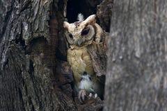 Oiseaux mignons colletés de sagittatus d'Otus de hibou de scops en cavité d'arbre Photographie stock libre de droits