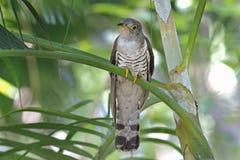 Oiseaux mignons de coucou de micropterus indien de Cuculus de la Thaïlande Photographie stock