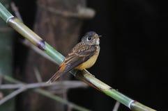 Oiseaux mignons de FLYCATCHER de ferruginea ferrugineux de Muscicapa de la Thaïlande Photographie stock libre de droits