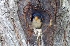 Oiseaux mignons de fringillarius noir-thighed de Falconet Microhierax de la Thaïlande Photo stock