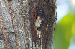Oiseaux mignons de fringillarius noir-thighed de Falconet Microhierax de la Thaïlande Photos stock