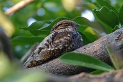 Oiseaux mignons de jotaka de Grey Nightjar Caprimulgus de la Thaïlande Photo stock