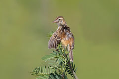 Oiseaux mignons de juncidis de Zitting Cisticola Cisticola de la Thaïlande Photo libre de droits