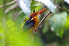 Oiseaux mignons de martin-pêcheur d'erithaca nain oriental de Ceyx de la Thaïlande Images stock