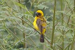 Oiseaux mignons masculins de hypoxanthus d'or asiatique de Weaver Ploceus de la Thaïlande Image libre de droits