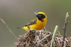 Oiseaux mignons masculins de hypoxanthus d'or asiatique de Weaver Ploceus dans le nid Images libres de droits