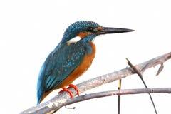 Oiseaux mignons masculins de martin-pêcheur d'atthis communs d'Alcedo d'isolement Photo libre de droits