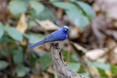 Oiseaux mignons masculins de monarque d'azurea noir-naped de Hypothymis de la Thaïlande Photos stock