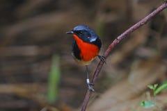 Oiseaux mignons masculins de pectardens de Luscinia de Firethroat de la Thaïlande Images libres de droits