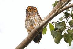 Oiseaux mignons repérés de seloputo en bois d'Owl Strix de la Thaïlande Photo libre de droits