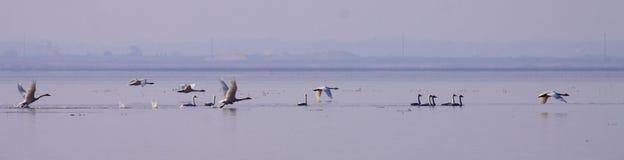 Oiseaux migrateurs de lac swan en hiver image libre de droits