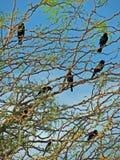Oiseaux noirs à ailes rouges Images stock