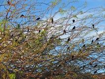 Oiseaux noirs à ailes rouges Photo libre de droits