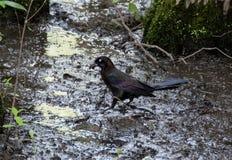 Oiseaux noirs chez le lac et l'Iris Gardens swan Images stock