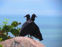 Oiseaux noirs d'auberges sur la roche Images libres de droits