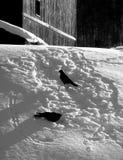 Oiseaux noirs dans la neige Photographie stock libre de droits