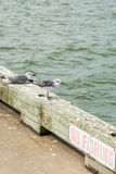 Oiseaux noirs et blancs de bord de la mer à l'île de Galveston, TX Photo stock