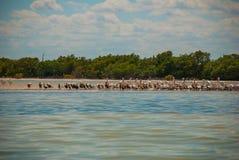Oiseaux noirs et pélican blanc par la rivière Rio Lagartos, Mexique yucatan Photo libre de droits