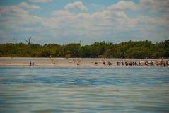 Oiseaux noirs et pélican blanc par la rivière Rio Lagartos, Mexique yucatan Images libres de droits
