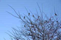 Oiseaux noirs sur des branches photos libres de droits