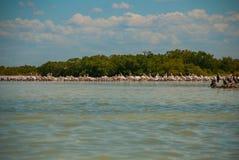 Oiseaux noirs sur un arbre cassé dans l'eau et les pélicans blancs dans dalike Rio Lagartos, Mexique yucatan Photographie stock libre de droits