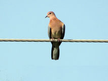 Oiseaux ou pegeons de colombe Image libre de droits