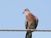 Oiseaux ou pegeons de colombe images libres de droits
