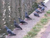 Oiseaux par des pigeons de pigeon de l'eau Photo libre de droits