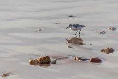 Oiseaux pataugeants alba de Calidris de Sanderlings les petits recherchant la nourriture aux eaux affilent à Agadir, Maroc, Afriq images libres de droits