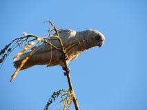Oiseaux peu d'Australie occidentale de Corella photos libres de droits