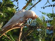 Oiseaux peu d'Australie occidentale de Corella image stock